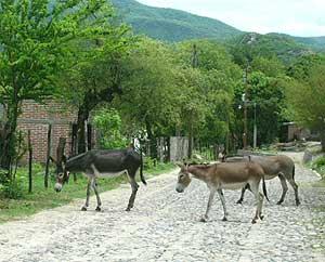Roaming burros in Alamos barrio