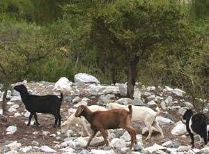 Goats wander free in the valley.