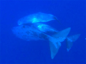 Sperm whales use sound to communicate and to locate squid in the darkest depths of the ocean.
