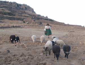 An Aymara woman herding sheep on Amantani island