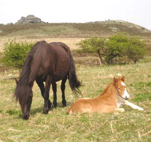 Native ponies roam freely on Dartmoor