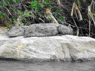 A crocodiles in the Ranganathittu Bird Sanctuary in India