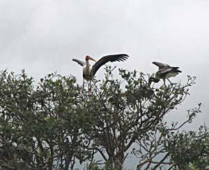 Painted storks at the Ranganathittu Bird Sanctuary - photos by Suruchi Dumpawar