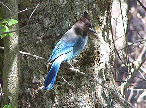 Wild life abounds – here a blue jay takes a break from building a nest to keep watch over his turf.