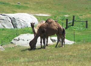 Camels grazing on the pastures of the Oasis Camel Dairy just outside Julian.