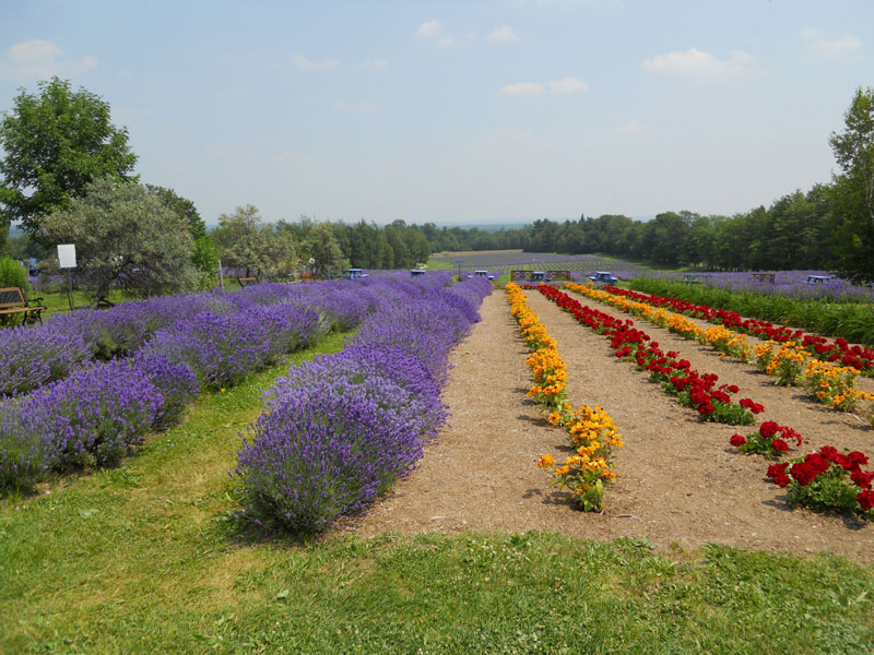 Domain Blue Lavender Farm in Magog, Quebec