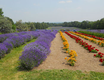 Domain Blue Lavender Farm in Magog, Quebec.