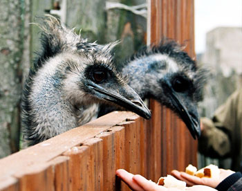 Visitors feed ostriches on the farm.