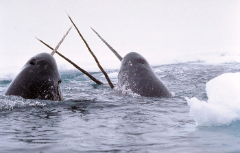 Narwhals break through the Arctic ice