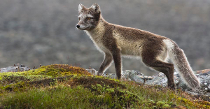 Arctic Fox Sermilik Fjord