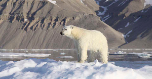 polar bear Sermilik Fjord