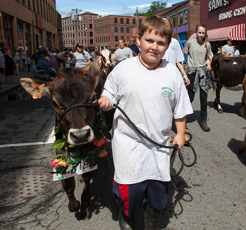 Strolling of the Heifers, Brattleboro Vermont. photo by Paul Shoul.