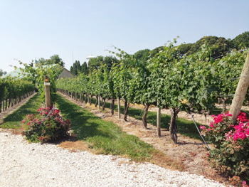 Cape May Winery's grape vines.
