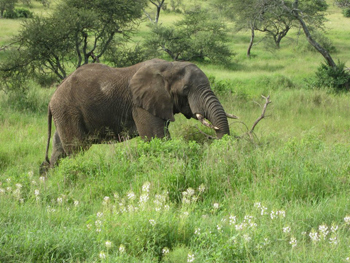 elephant-trees