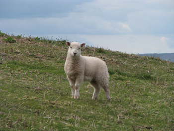 A lamb along the way.