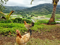 Wild chickens in Hanalei Valley, in Kauai.