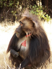 At Lalibela Hudad there is a pack of Gelada baboons, a species endemic to Ethiopia.