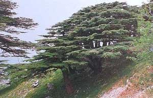 Lebanon's famous cedars