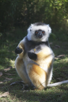 Sefika devours a banana at Lemur rehabiliation centre, Vakona Island