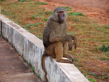 A baboon in Mole National Park, Ghana. photo by Adam Black.