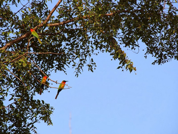 The red-throated bee eaters.