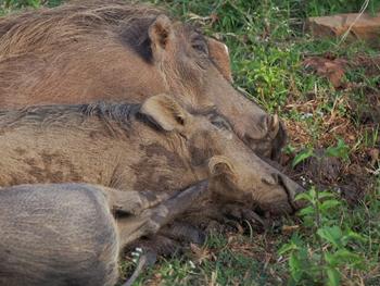 Resting warthogs.
