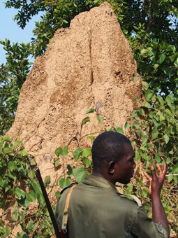 A guard in front of a termite mound in Mole National Park.