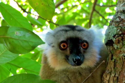 close-up-lemur