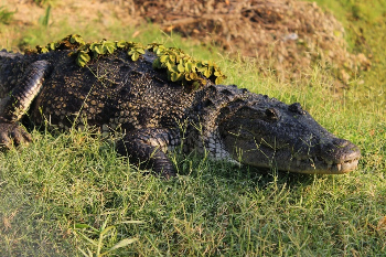 Usumacinta Expedition May 2014 Crocodilos Photographer Wilen Edver Chay Un
