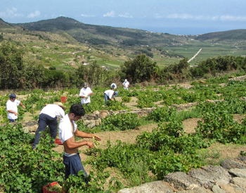 Harvesting the grapes, a key part of the island economy.