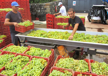 Working the Zibibbo grapes on Pantelleria.