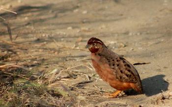 A partridge.