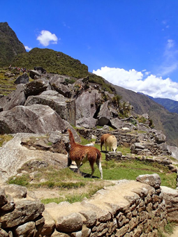 Friendly alpacas in Machu Picchu.