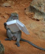 A ballsey monkey.