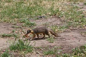 A fox on Santa Cruz.