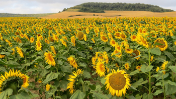 Sunflowers along the 500 mile pilgrimage route in Spain. David Rich photos.