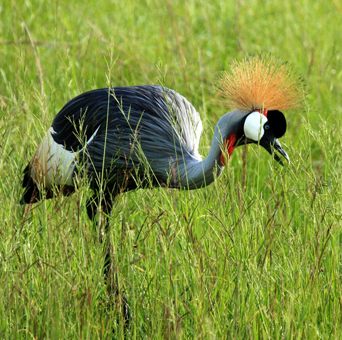 The grey crowned crane is the national bird of Uganda. They can be found both inside and outside of national parks.