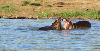 Hippos in Uganda. Shara Johnson photo.