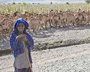 Herding camels in Ethiopia