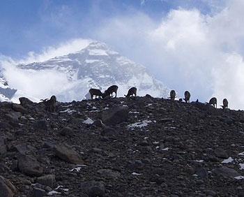 Wild antelope graze at the foot of Mt. Everest