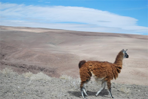Llama in the desert of Northern Chile near Iquique. photo by Max Hartshorne.