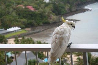 Parrot in Queensland, Australia. photo by Kent St. John.