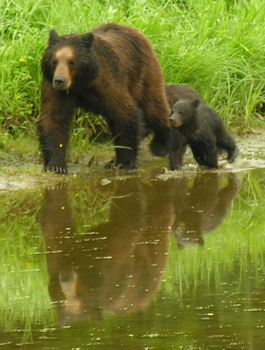 Brown bears are commonly seen on the cruise