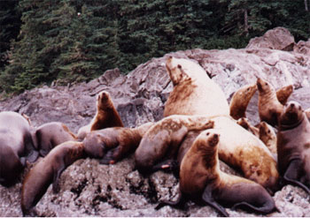 One stop on the Alaska cruise is at a sea lion rookery