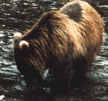 A bear the crew named White Ears with a Salmon in Pack Creek