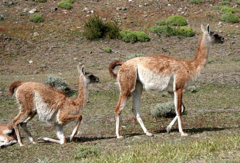 A guanaco mother with her calf
