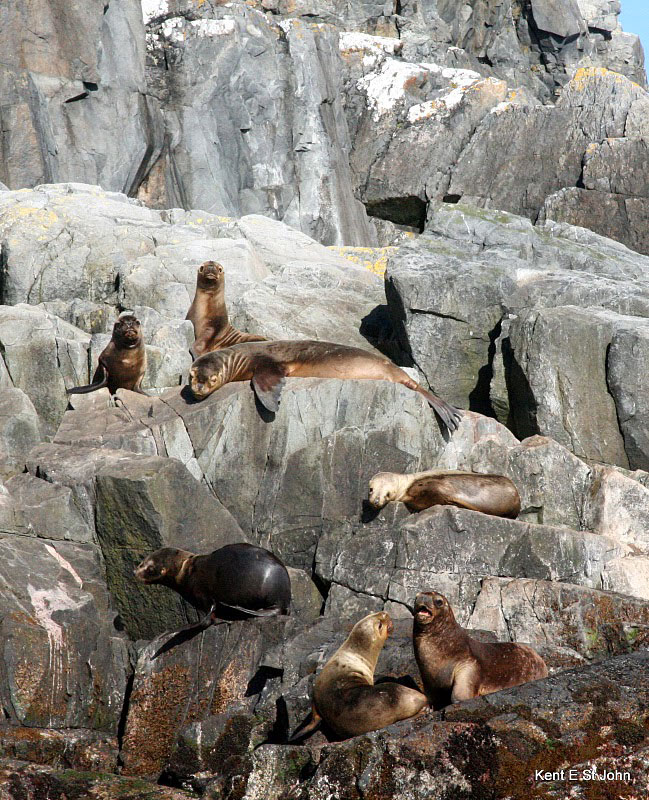 Seals basking on the rocks of Cape Horn
