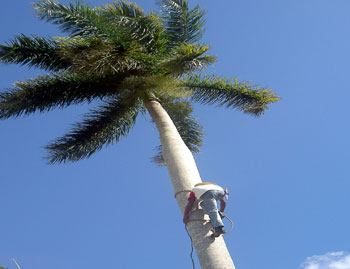 Climbing the Royal Palm