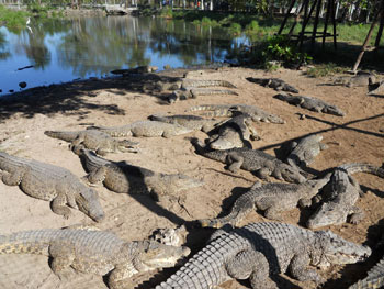 An alligator farm in La Boca