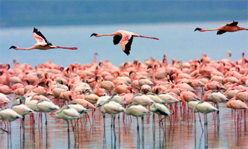 Flamingoes in Tanzania. photo: African Odyssey.
